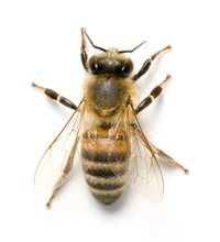 Photo of honey bee