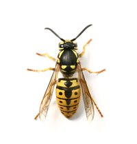 Photo of wasp